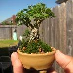 Copacel in miniatura in ghiveci ceramic